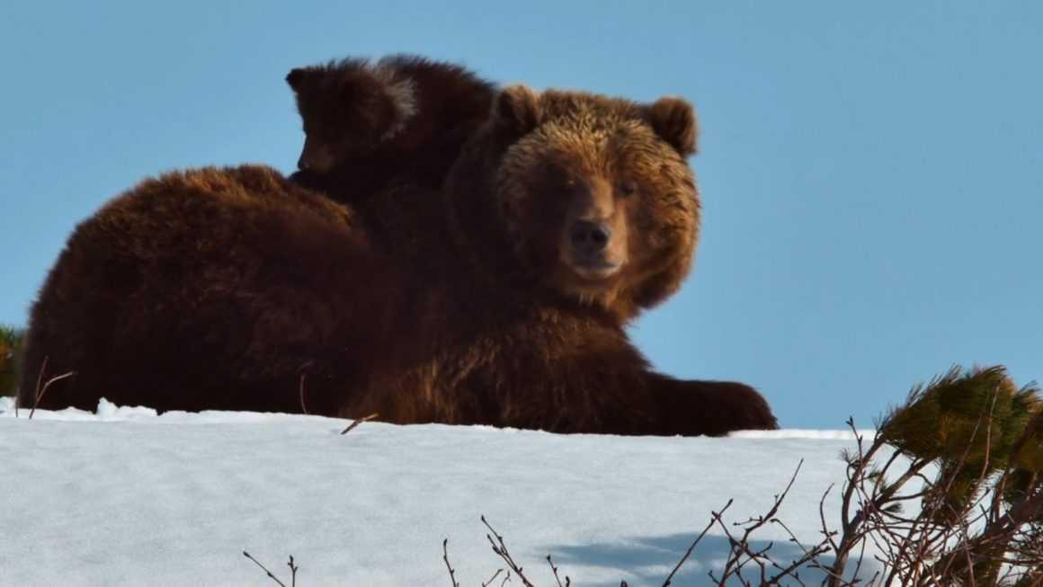 Медведи Камчатки: фильмы про живую природу