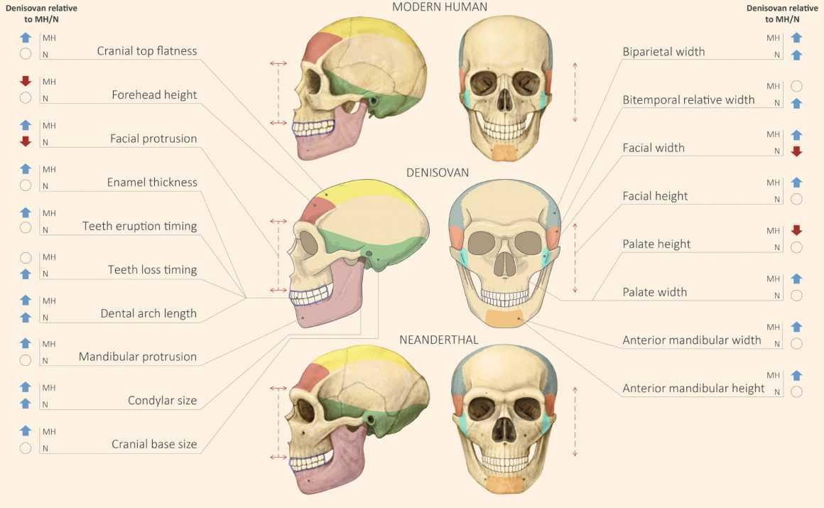 Чем денисовцы отличались от неандертальцев
